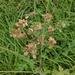 Heracleum sphondylium sibiricum - Photo (c) Almantas Kulbis, algunos derechos reservados (CC BY-NC)