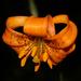 Lilium columbianum - Photo (c) Scott Cox, algunos derechos reservados (CC BY-NC-ND)