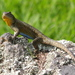 Northern Mesquite Lizard - Photo (c) Scott Loarie, some rights reserved (CC BY)
