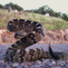 Eastern Black-tailed Rattlesnake - Photo (c) Robby Deans, some rights reserved (CC BY-NC)