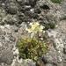 Saxifraga paniculata - Photo (c) chelsl, algunos derechos reservados (CC BY-NC)