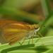 Euphyes dukesi - Photo (c) allenwoodliffe, algunos derechos reservados (CC BY-NC)