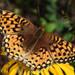 Speyeria hydaspe - Photo (c) Don Loarie, algunos derechos reservados (CC BY)