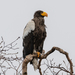 Sea-Eagles and Fish-Eagles - Photo (c) Carolyn Stewart, some rights reserved (CC BY-NC)
