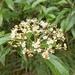 Viburnum foetidum rectangulatum - Photo (c) Yeachen Liu,  זכויות יוצרים חלקיות (CC BY-NC-ND)