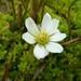 Ranunculus pallasii - Photo (c) bheberlein, algunos derechos reservados (CC BY-NC)