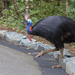 Southern Cassowary - Photo (c) Terry Sohl, some rights reserved (CC BY-NC)