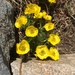 Alpine Buttercup - Photo (c) roomthily, some rights reserved (CC BY-NC)