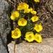 Ranunculus adoneus - Photo (c) roomthily, algunos derechos reservados (CC BY-NC)