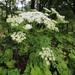 Pleurospermum uralense - Photo (c) V.S. Volkotrub, some rights reserved (CC BY-NC)