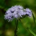 Ageratum houstonianum - Photo (c) David Gil,  זכויות יוצרים חלקיות (CC BY-NC)