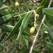 Madeiran Wild Olive - Photo (c) Francisco, some rights reserved (CC BY-NC)