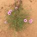 Ipomoea leptophylla - Photo (c) CW Riggs, algunos derechos reservados (CC BY-NC)