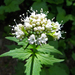 Sitka Valerian - Photo (c) pfly, some rights reserved (CC BY-SA)