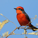 Vermilion Flycatcher - Photo (c) Terry Sohl, some rights reserved (CC BY-NC)