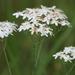 Sabatia macrophylla - Photo (c) Lauren,  זכויות יוצרים חלקיות (CC BY)