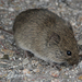 California Vole - Photo (c) Kim Cabrera, some rights reserved (CC BY-NC-ND)