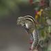 Ardilla de Palma India - Photo (c) Subhadra Devi, algunos derechos reservados (CC BY)