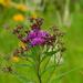 Vernonia fasciculata - Photo (c) Joshua Mayer, algunos derechos reservados (CC BY-SA)