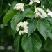 Alder-leaved Whitebeam - Photo (c) dvm20, some rights reserved (CC BY-NC)