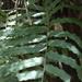 Polypodium subpetiolatum - Photo (c) Alberto Lozano, algunos derechos reservados (CC BY-NC)