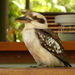 Laughing Kookaburra - Photo (c) lrussoutk, some rights reserved (CC BY-NC)