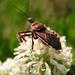 Apiomerus spissipes - Photo (c) Samuel Huckins,  זכויות יוצרים חלקיות (CC BY-NC-SA)