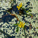 Beck's Water-Marigold - Photo (c) Tab Tannery, some rights reserved (CC BY-NC-SA)
