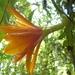 Disocactus aurantiacus - Photo (c) Hermes Vega, algunos derechos reservados (CC BY-NC)