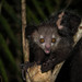 Aye-Aye - Photo (c) nomis-simon, some rights reserved (CC BY)