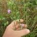 Liatris cymosa - Photo (c) Eric Keith, μερικά δικαιώματα διατηρούνται (CC BY-NC)