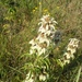 Seaside Beebalm - Photo (c) Eric Keith, some rights reserved (CC BY-NC)