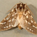 Silver-spotted Tiger Moth - Photo (c) Dick, some rights reserved (CC BY-NC-SA)
