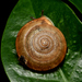 Aegista lautsi lautsi - Photo (c) Liu JimFood,  זכויות יוצרים חלקיות (CC BY-NC)