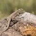 Liolaemus leopardinus - Photo (c) Ariel Cabrera Foix, alguns direitos reservados (CC BY-NC-SA)