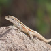 Valparaiso Smooth-throated Lizard - Photo (c) Ariel Cabrera Foix, some rights reserved (CC BY-NC-SA)