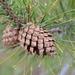 Pinus contorta - Photo (c) Alison Northup,  זכויות יוצרים חלקיות (CC BY)