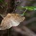 Syncirsodes primata - Photo (c) Ariel Cabrera Foix, algunos derechos reservados (CC BY-NC-SA)