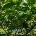 Ficus benguetensis - Photo (c) Anthony Bain, osa oikeuksista pidätetään (CC BY-NC)