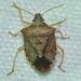 Euschistus - Photo (c) tybird99, algunos derechos reservados (CC BY-NC)