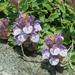 Scutellaria alpina - Photo (c) lorenzodotti, algunos derechos reservados (CC BY-NC)