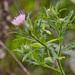 Cirsium altissimum - Photo (c) Suzanne Cadwell, μερικά δικαιώματα διατηρούνται (CC BY-NC)