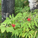 Sambucus racemosa pubens - Photo (c) lkcarr, algunos derechos reservados (CC BY-NC)