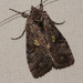 Spruce False Looper Moth - Photo (c) claudette-cormier, some rights reserved (CC BY-NC)