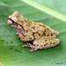 Ranas Pintadas - Photo (c) Josiah Townsend, algunos derechos reservados (CC BY-NC-ND), uploaded by Josiah Townsend