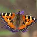Mariposa de la Ortiga - Photo (c) Jörg Hempel, algunos derechos reservados (CC BY-SA)