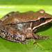 Highland Frog - Photo (c) Josiah Townsend, some rights reserved (CC BY-NC-ND), uploaded by Josiah Townsend