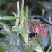 Blue-headed Hummingbird - Photo (c) jvp0208, some rights reserved (CC BY-NC)