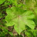 Jatropha platyphylla - Photo (c) patriciasamperio, some rights reserved (CC BY-NC)