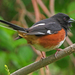 Eastern Towhee - Photo (c) Steve Guttman NYC, some rights reserved (CC BY-NC-ND)